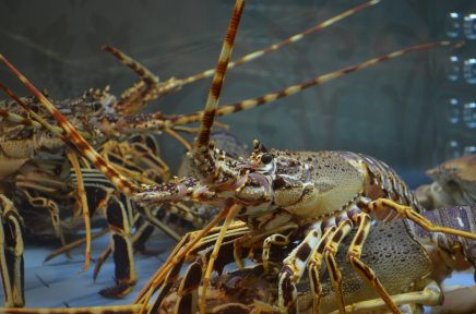 Animal Sex: Donald Trump and Lobsters Share this MatingRitual